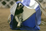 Lilly a Border Collie from Thornton, Colo., makes her was through a skills course at the Rocky...