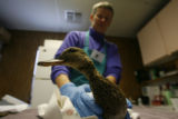 (DLM3187) -  Deirdre Butler, an Animal Care Technician for the Greenwood Wildlife Rehabilitation...