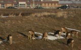A group of deer find some food in Walnut Creek Tuesday afternoon February 6, 2006 in Broomfield,...