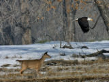 A Bald Eagle flies over a deer at the Rocky Mountain Arsenal February 8, 2007. Bald Eagles are do...