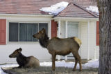 A pair of elk lounge on a front lawn of a home in Estes Park on Thursday February 8, 2007. As one...