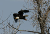 A Bald Eagle flies from a tree at the Rocky Mountain Arsenal February 8, 2007. Bald Eagles are do...