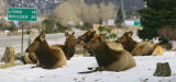 A small herd of elk lounge on a front lawn of a home in Estes Park on Thursday February 8, 2007....
