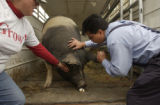(DENVER, Colo., May 12, 2004) Rodney Fernandez, vice-principal, bends over to kiss the pig....