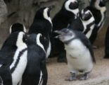 Tux, the penguin, right, wears a yellow arm band for identification Tuesday morning, February 13,...