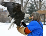 Bird handler Nancy Prior (cq), goes eye-to-eye with a Bald Eagle, Wednesday afternoon, February...