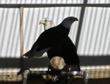 A male and female Bald Eagle in their home Thursday morning February 15, 2006, at the Raptor...