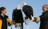 A male and female Bald Eagle being held by Anne Price (cq), Curator,left, and Peter Reshetniak...