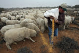 (DLM8537) -  Hundreds of sheep file behind Ernie Etchart, 43, as he dumps out a line of corn for...