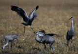 A pair of Sandhill Cranes take part in mating ritual dance,  Sunday afernoon, March 11, 2007,  at...