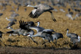 Sandhill Cranes take flight, Sunday afernoon, March 11, 2007, at the Monte Vista National wildlife...