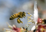 CASTO101 - A honeybee gathers pollen from almond blossoms near Manteca, Calif. Tuesday, March 6,...