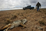 (DLM8369) -  Sheep rancher Ernie Etchart, 43, walks past a dead coyote that he found on the side...