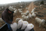 (DLM8392) -  Hundreds of sheep file behind Ernie Etchart, 43, as he dumps out a line of corn for...
