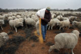 (DLM8521) -  (DLM8539) -  Hundreds of sheep file behind Ernie Etchart, 43, as he dumps out a line...