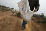 (DLM8505) -  (DLM8539) -  Hundreds of sheep file behind Ernie Etchart, 43, as he dumps out a line...