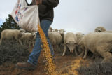 (DLM8568) -  Hundreds of sheep file behind Ernie Etchart, 43, as he dumps out a line of corn for...