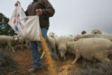 (DLM8566) -  Hundreds of sheep file behind Ernie Etchart, 43, as he dumps out a line of corn for...