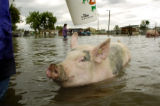 "Caption:   (Denver, Colo., August 19, 2004) ""Miss Piggy"" swims through floodwater..."