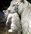 BAI101 - Bety, a female white tiger, holds one of her three 45 days-old cubs at the Buenos Aires...