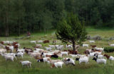(VAIL, Colo., Aug 5, 2004)  Bicyclists ride a path in Vail, while goats graze on the hillside off...