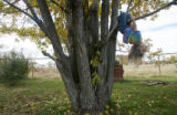 Grandchild Teya Hawkins, 4, plays on a tree in the backyard at a family gathering at the home of...