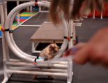 (AURORA, CO., Aug 6, 2004) Diamond a 3-year-old Burmese cat completed an agility course with the...