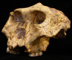 A Paranthropus skull. FROM BUDGET LINE: This ancient African ancestor of modern humans had a far...
