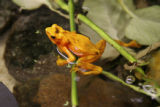An Panamanian golden frog (Atelopus zeteki) like this one on display  at the Denver Zoo's Tropical...