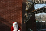 Santa arrived at the Denver Zoo Thursday December 7, 2006, to feed the giraffe their favorite...