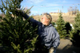 Robin Przyhocki, cq, of Cherry Creek Ranch Christmas Trees in Denver fluffs out a tree after...