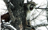 Hunter Gary Kistler, of Fort Collins, took this 167-pound male mountain lion Mar. 1 in Poudre...