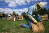Beekeepers Duncan Williams (cq), right, cleans off a hive while Paul Limbach (cq), left rear,...