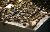 Bees, owned by Paul Limbach, in Silt, Colo., on Wednesday, April 25, 2007. Limbach has not...