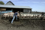 Iowa farmer Bill Salier (cq), opens a gate to one of the sow pens so they can eat on his Nora...