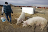 Brent, a resident at the Denver Rescue Mission's Harvest Farm in Wellington, CO tends hogs Monday...
