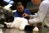 DLM1872  Jonette Gonzales' cat, Jesse, has urine drawn at a veterinary clinic in Denver, Colo....