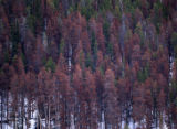 A brown stand of dead and dying pine trees near Grand Lake, Colo., on Wednesday, March 21, 2007....