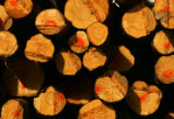 Trees that were infested with piine beetle lie cut and stacked near Fraser, Colo., on Wednesday,...