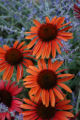 Sundown (Echinacea x Big Sky 'Evan Saul') Blooming from late summer into fall, this warm russet...
