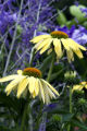 Sunrise (Echinacea x Big Sky 'Sunrise'). Bright, cheerful yellow blooms cover the plant from mid-...