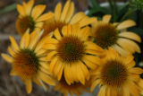 Harvest Moon (Echinacea x Big Sky 'Matthew Saul') Large, 4-inch blooms are a rich mango to deep...