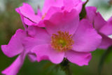 For Dig. Detail picture of a standard tree rose 'Polar Joy'. A tree rose that's hardy for our...