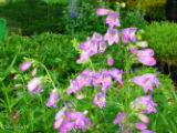 SHADOW MOUNTAIN Penstemon. Lavender blue cousin to Red Rocks Penstemon blooms from late spring...
