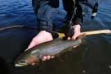 A healthy rainbow trout goes back into the Dream Stream. Resident fish in the river are rising in...
