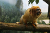 DLM7657  This is one of the Denver Zoo's golden lion tamarins, a small primate from Central and...