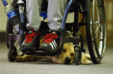 (Cannon City, Colo., May 18, 2004) A yellow retriever named Abbey lies under the wheelchair of he...