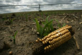 MJM545 A corn cob lies in a recently planted corn field Tuesday May 15, 2007 at the Lenz Family...