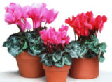 Because most houseplants, such as cyclamen, are not actively growing in midwinter, it's best to...