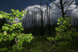 New Aspen trees are quick to grow back after a forest fire, these trees are off Forest Road 211,...